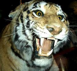 Tiger S Eye Gemstones Chatoyant Tiger S Eye Quartz