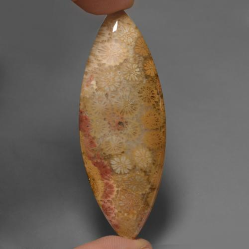 Multicolor Fossil Coral Gem - 56.6ct Marquise Cabochon (ID: 447468)